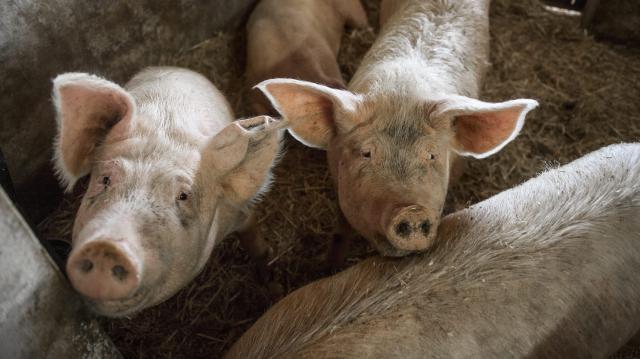 Csökkent a hazai sertésállomány, a tyúk - és szarvasmarha-állomány nőtt