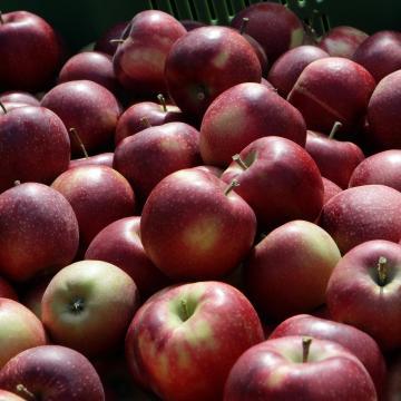 Fele annyi alma terem idén, mint tavaly
