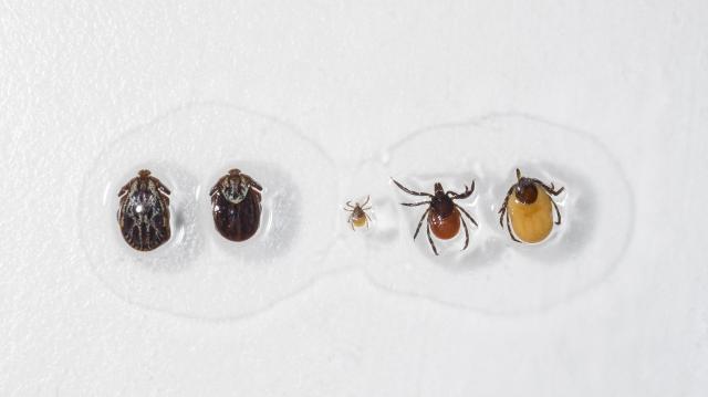 Magyar eljárás segíthet kimutatni a Lyme-kórt