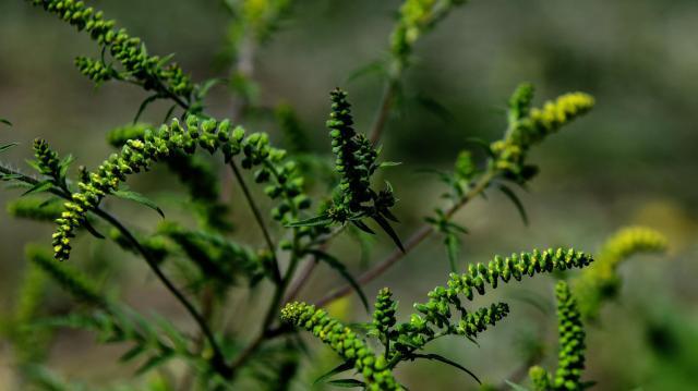 Országszerte emelkedhet a parlagfű pollenkoncentrációja