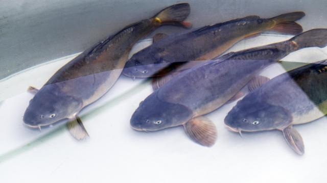 Növekedés a magyar halgazdálkodásban