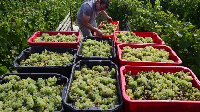 Nyomás alatt a szőlő felvásárlási ára