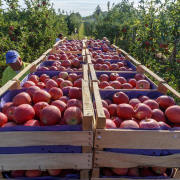 Többet adnak idén a felvásárlók az almáért