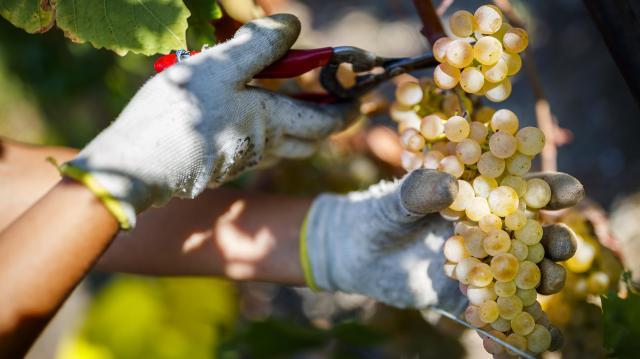 2,5 milliárd forintnyi segítséget kapnak a szőlőtermelők