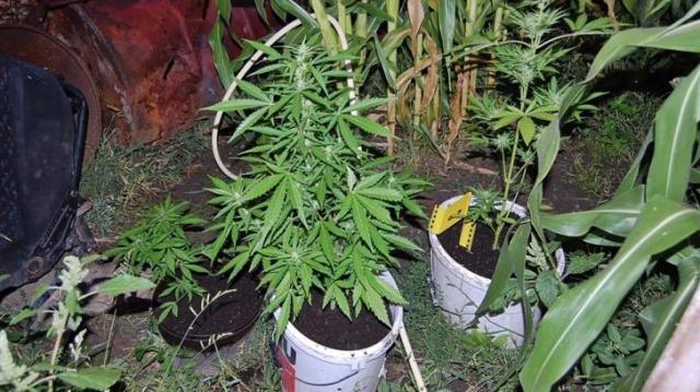 Kábítószergyanús növények a kertben