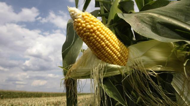 Áremelkedést várnak a kukoricatermelők