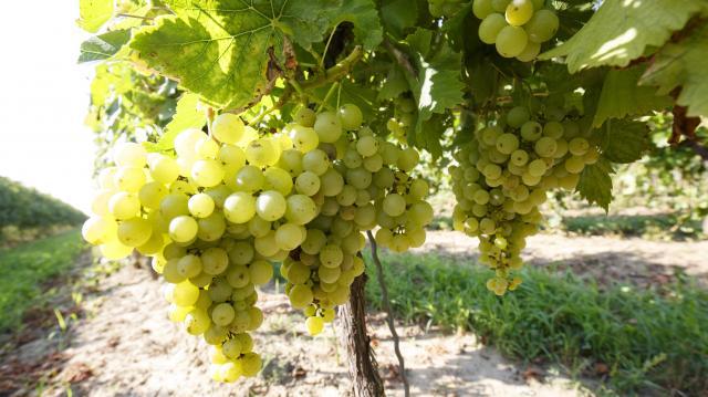 Támogatásban részesülhetnek az élelmiszeripari vállalkozások és borászatok