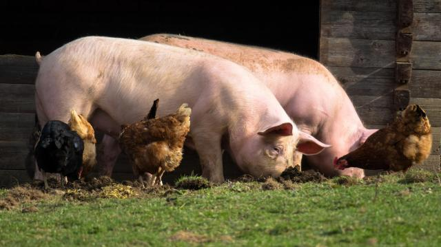 Kétszeresére emelkedik a támogatás a baromfi- és sertéságazatban