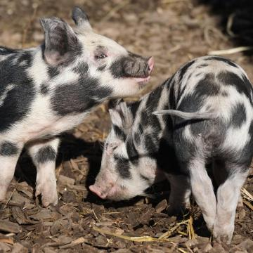 Nemzeti és az uniós források a sertéságazat növeléséhez