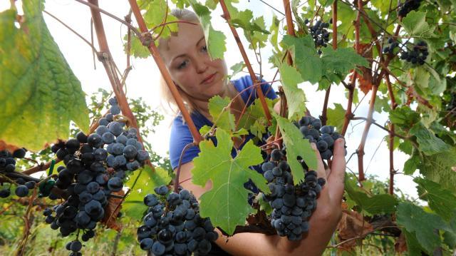 Kevesebb szőlő termett, de jobb a minőség