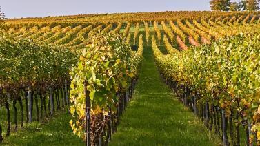 Több helyen megjelent a szőlő aranyszínű sárgaság betegsége