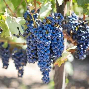 4,2 millió mázsa szőlő termett idén