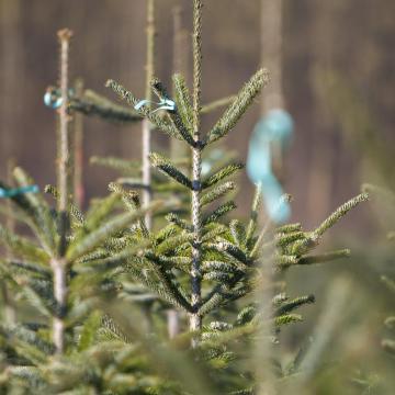 Már megkezdődött a karácsonyfáknak szánt fenyők kitermelése