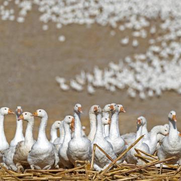 A járványvédelmi zártság biztosítása a madárinfluenza megelőzésének záloga