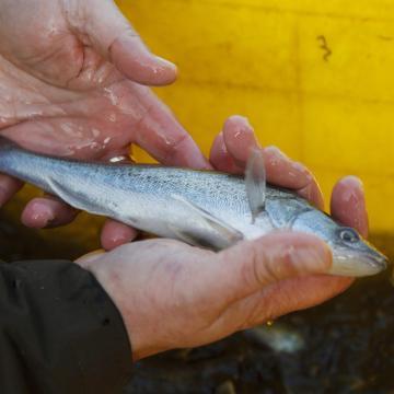 A süllő az idei év hala
