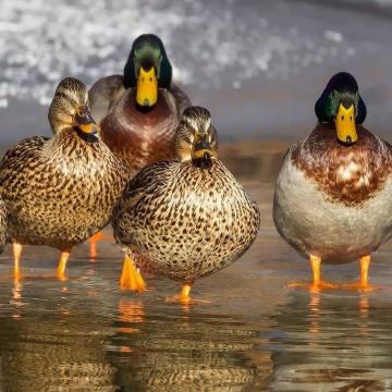 A megyében is megjelent a madárinfluenza