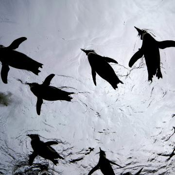 Két pápaszemespingvin-fióka született a budapesti állatkertben