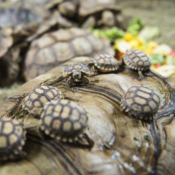 Sarkantyús teknősök keltek ki a debreceni állatkertben