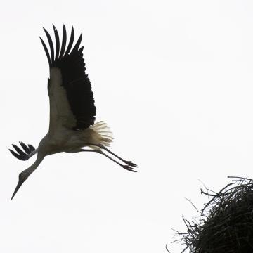 Idén is élőben követhető a gemenci fekete gólyák élete