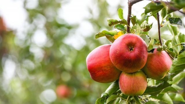 Kevés gyümölcs termett tavaly