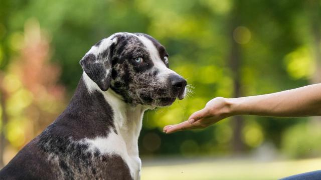 A kutyák agya hatékonyabban elemzi a beszélő kilétét, mint a beszédhangokat