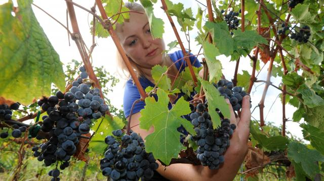 Igényelhető támogatás az amerikai szőlőkabóca elleni védekezéshez