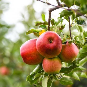 Jó gyümölcstermés várható