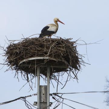 Megérkezett az első fekete gólya a Gemencre