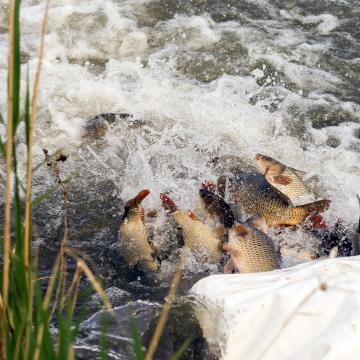 Több mint száz mázsa halat telepítettek a Tiszába