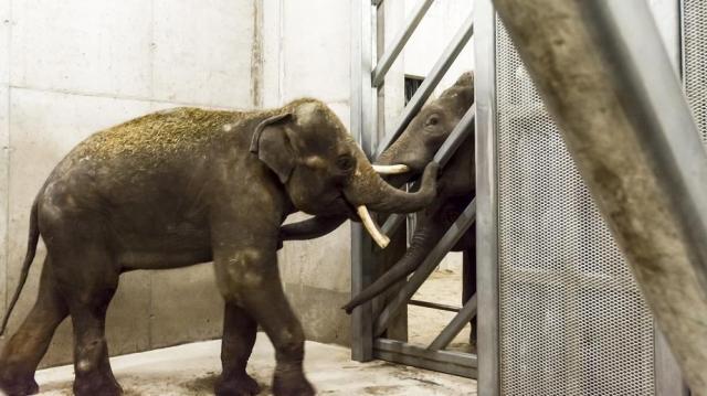 Új elefántbika érkezett a Szegedi Vadasparkba