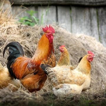 Pályázat a hazai sertés- és baromfiágazat járványvédelmi támogatására