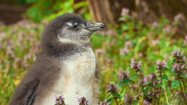Pápaszemes pingvinbébit mutattak be a debreceni állatkertben