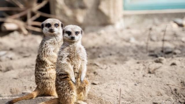 Szurikáták érkeztek a debreceni állatkertbe