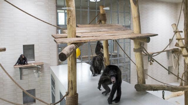 Átadták a Xantus János Állatkert új csimpánzházát és kifutóját