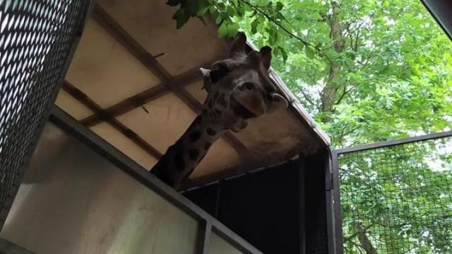 Fiatal zsiráfbika érkezett a Szegedi Vadasparkba