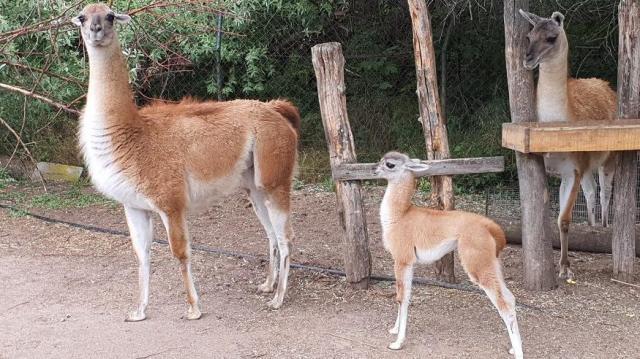 Guanakócsikó született a Szegedi Vadasparkban