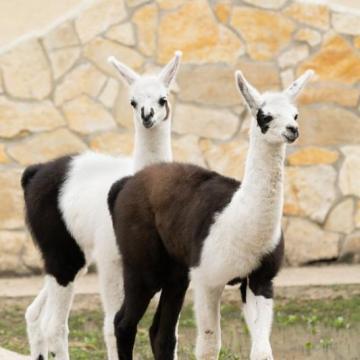 Lámacsikók születtek a debreceni állatkertben