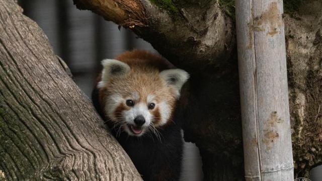 Már meg lehet nézni a debreceni állatkert vöröspanda hímjét