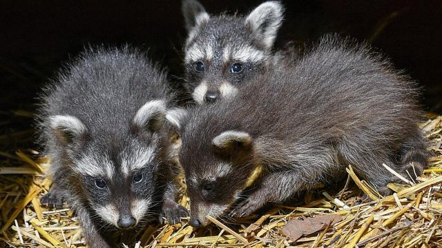 Mosómedve ötös ikrek születtek a debreceni állatkertben