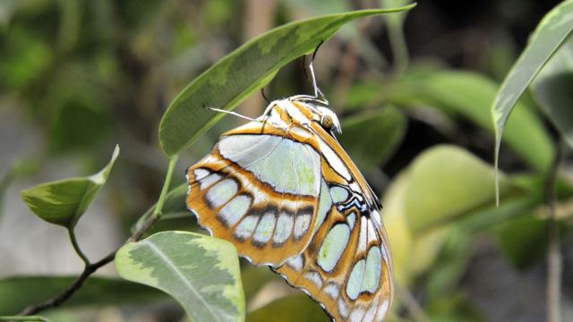 Újra trópusi lepkék várják a látogatókat szegedi egyetemi füvészkertben