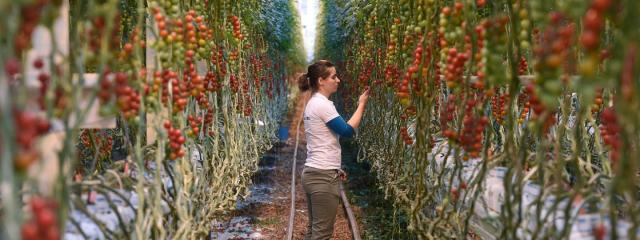 Üvegházak építésével váltanák ki az importzöldséget