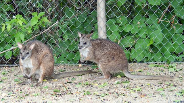 Kihaltnak hitt kengurufaj érkezett az állatkertbe