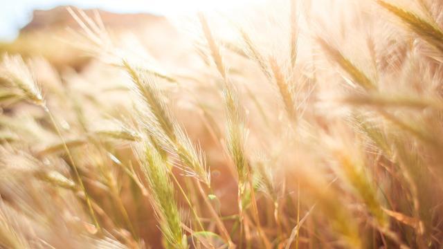 Közepes gabonatermés várható a megyében