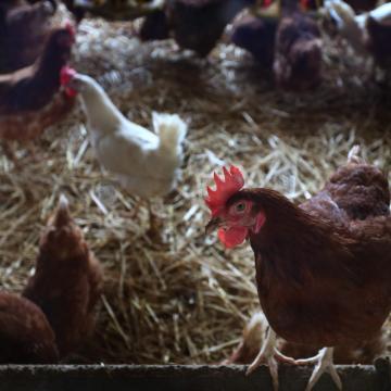 Megszűnhetnek a madárinfluenza miatti megfigyelési körzetek