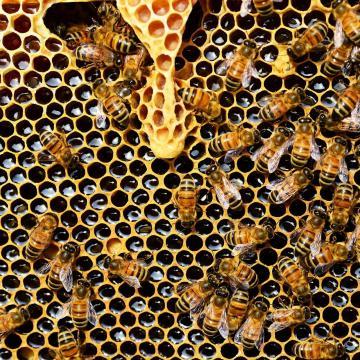 Méhzárlatot rendeltek el Pécsen