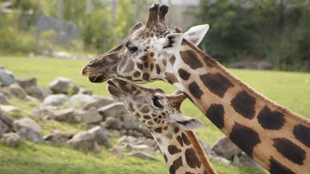 Recés zsiráf született a debreceni állatkertben