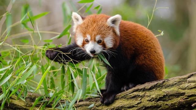 Új kis panda érkezett a Budapesti Állatkertbe, és megnyílt a Lepkekert is