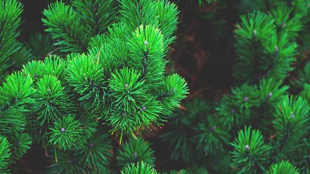 Változik a karácsonyfa hektáronkénti ára