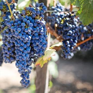 Hamarosan szüretelik a kék szőlőfajtákat