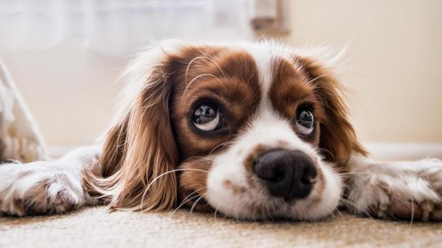 A kutyák szótanulási képességét vizsgálják az ELTE etológusai egy nemzetközi projektben